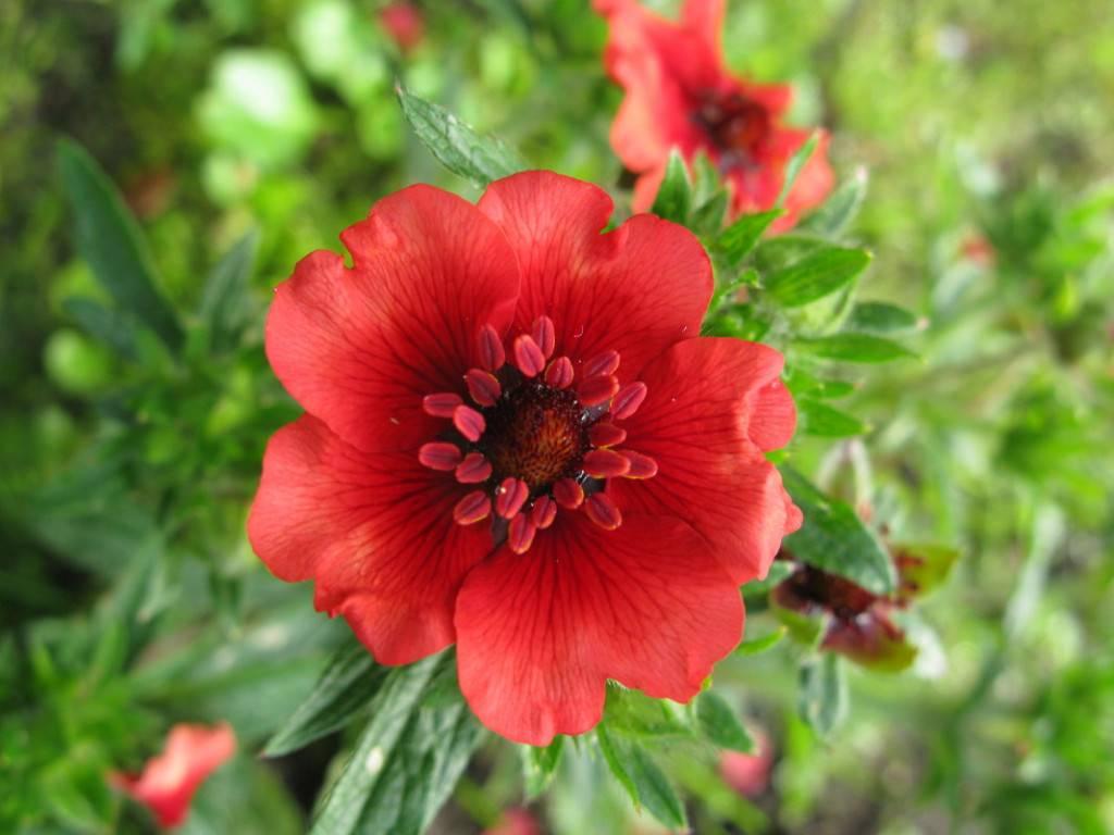 Лапчатка кустарниковая - уход и выращивание в саду