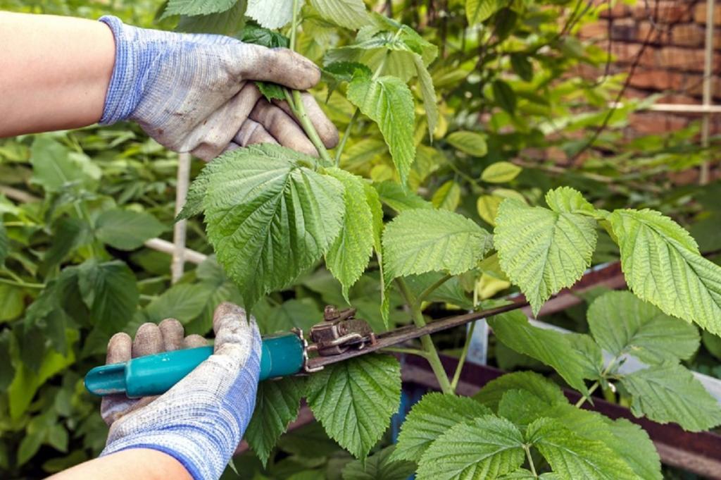 Как ухаживать за малиной после сбора урожая? обрезка, пересадка, подкормка малины на следующий год