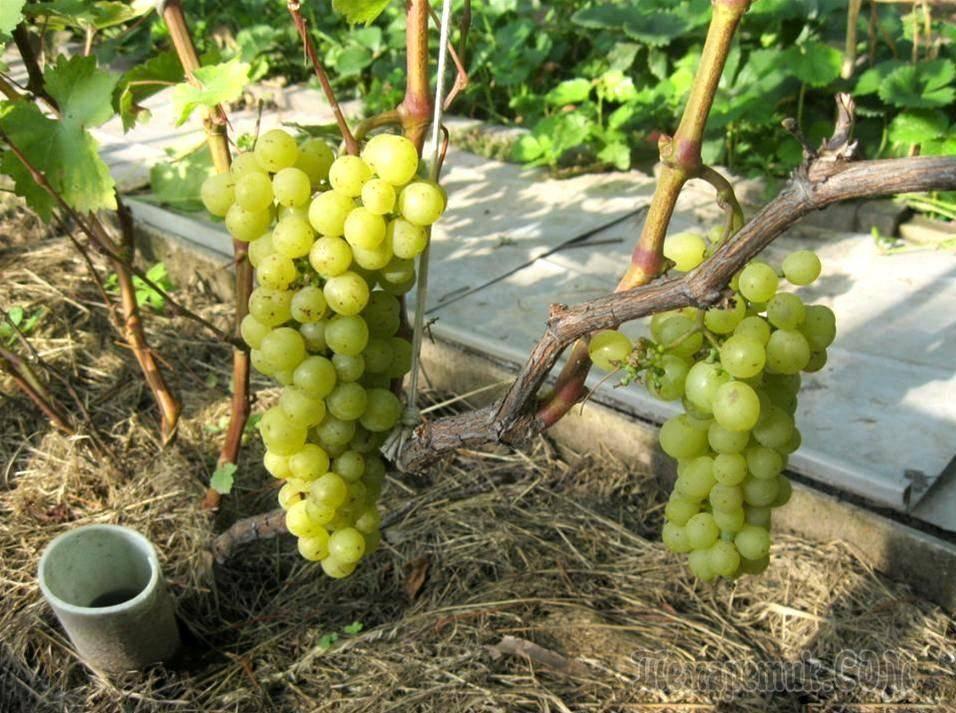 Универсальный сорт винограда зилга