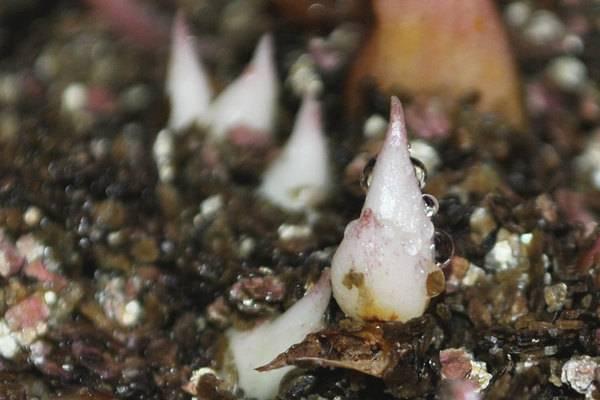 Способы размножения садовых лилий: бульбочками, семенами, чешуйками, луковицами и черенками