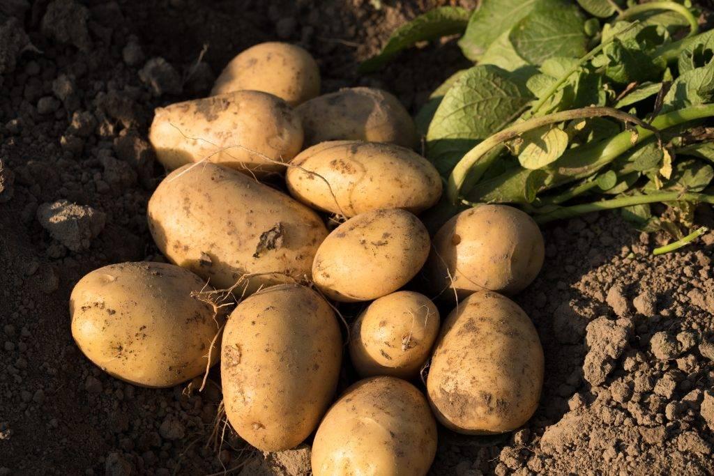 """Картофель """"раннее утро"""": характеристика и описание сорта, фото, отзывы, урожайность"""