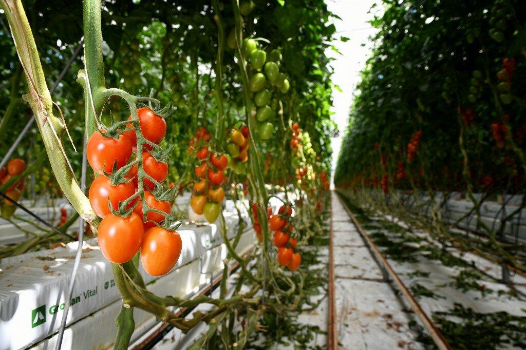 Помидоры на гидропонике: состав раствора, система своими руками для дома, сорт томатов черри