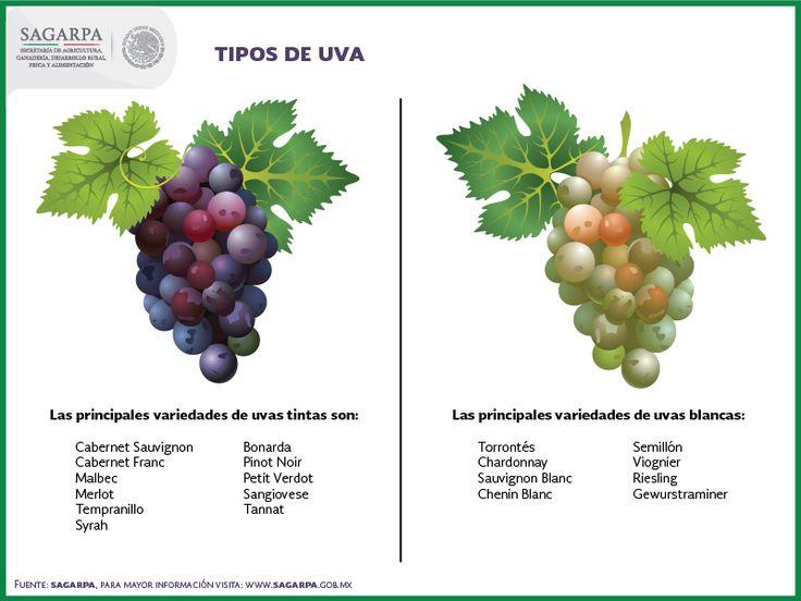 Описание винограда «рислинг»