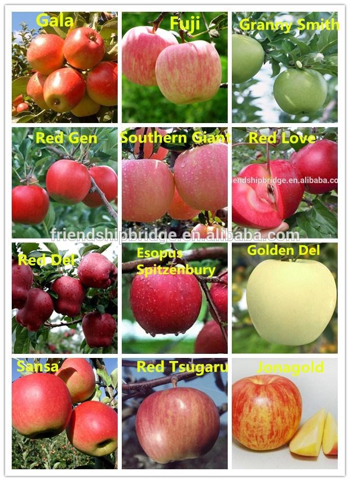 Яблоки фуджи: описание сорта и разновидностей, плодоношение и выращивание