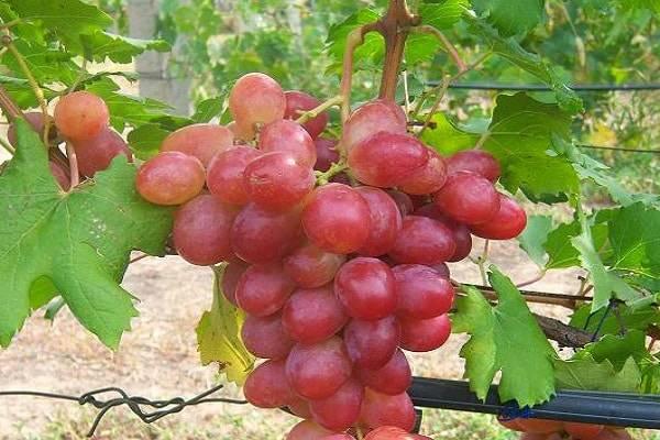 Виноград рубиновый юбилей описание сорта, фото, уход и выращивание