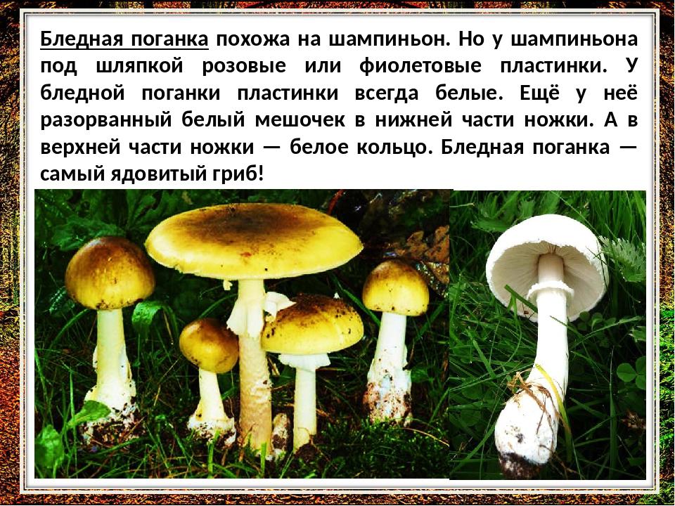 Цезарский гриб (царский гриб, мухомор цезаря): описание, съедобный или нет, фото