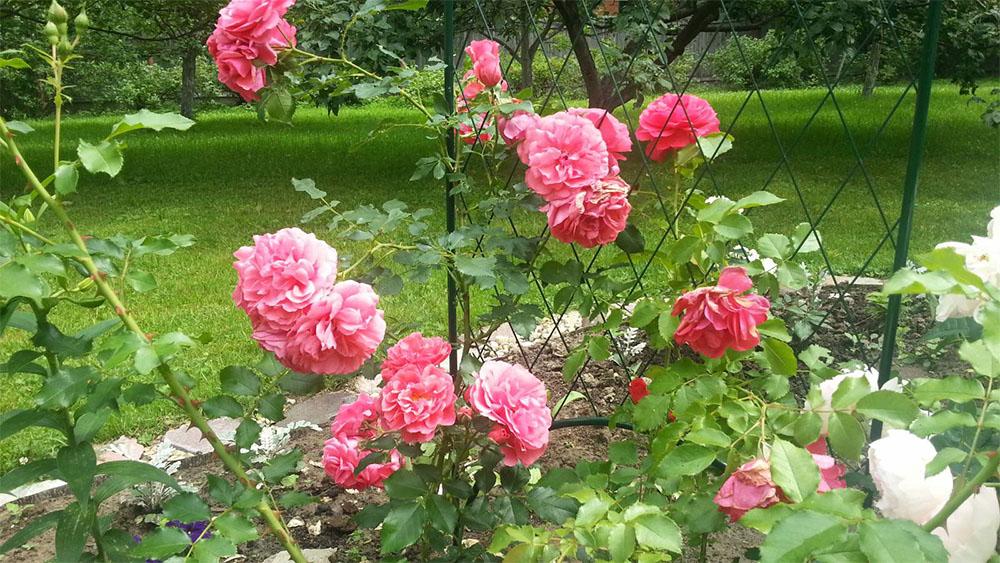 Роза розариум ютерсен: описание, посадка, уход, болезни, вредители, размножение