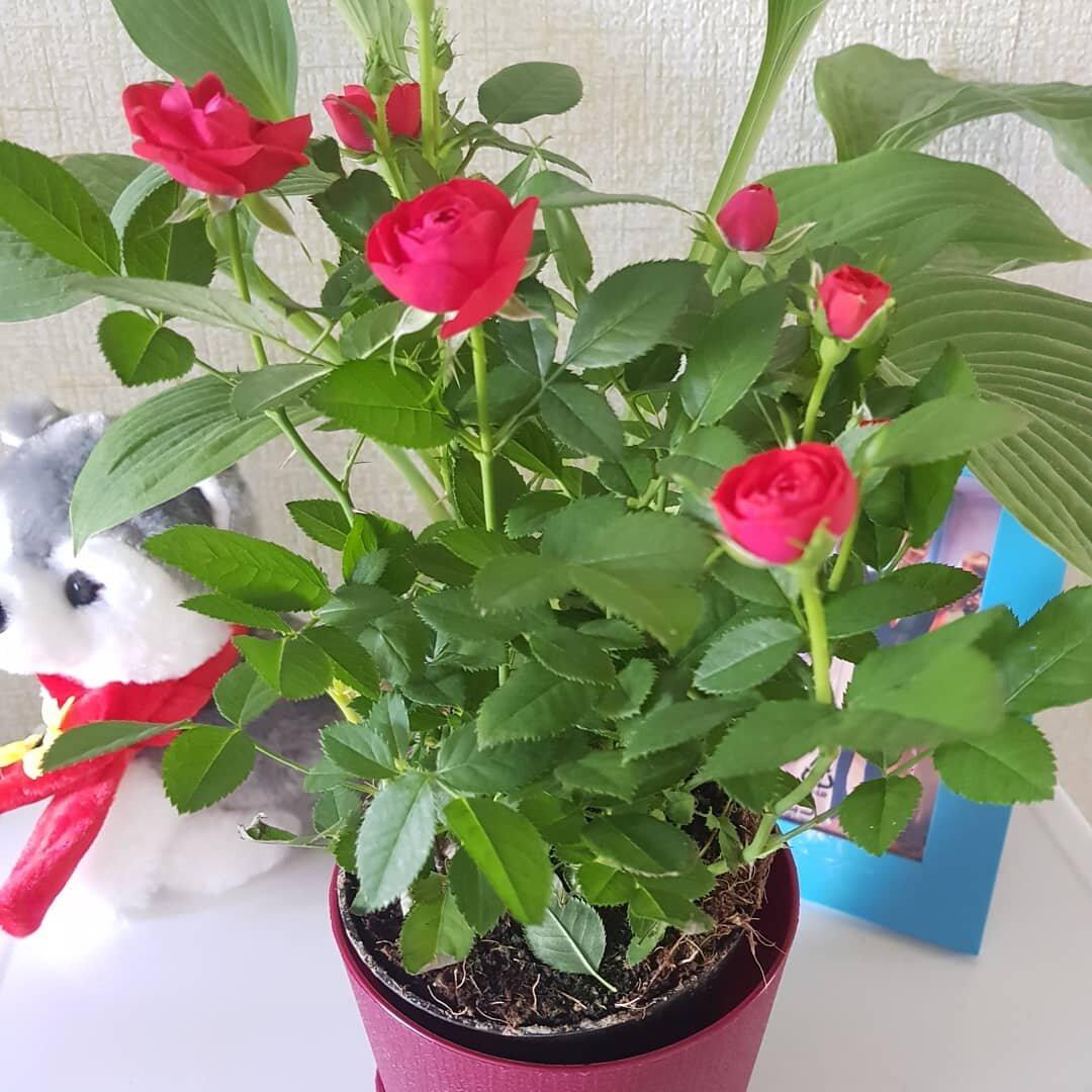 Выращивание и уход за комнатной розой в домашних условиях