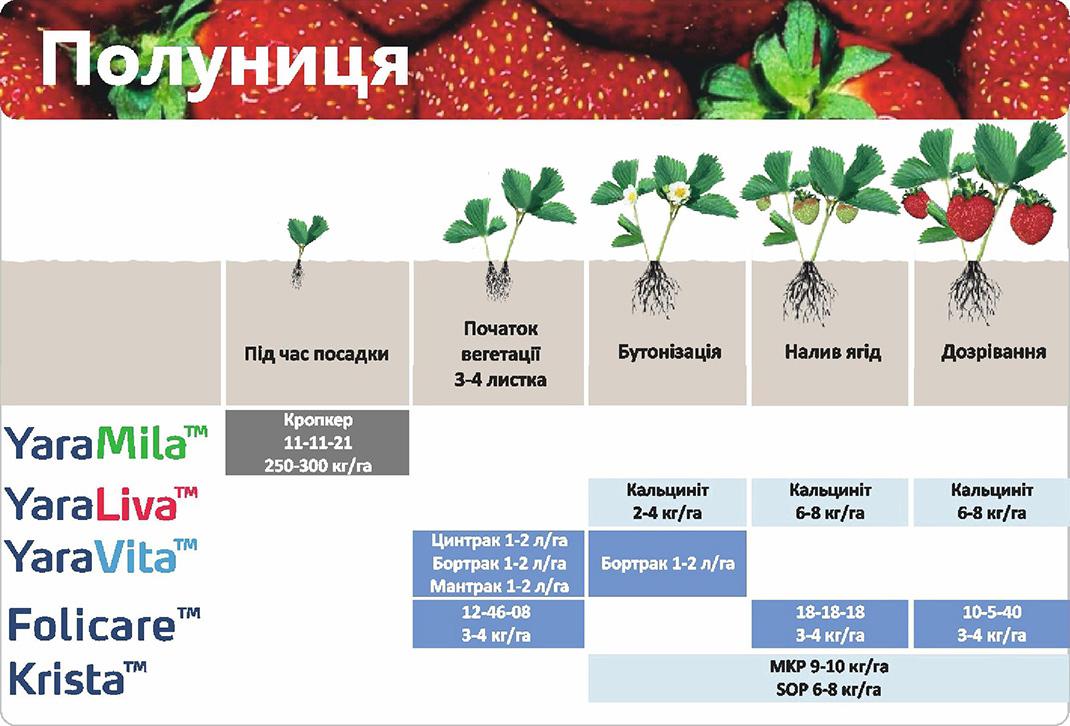 Выращивание клубники дома: посадка, правила ухода, советы и фото - fin-az.ru