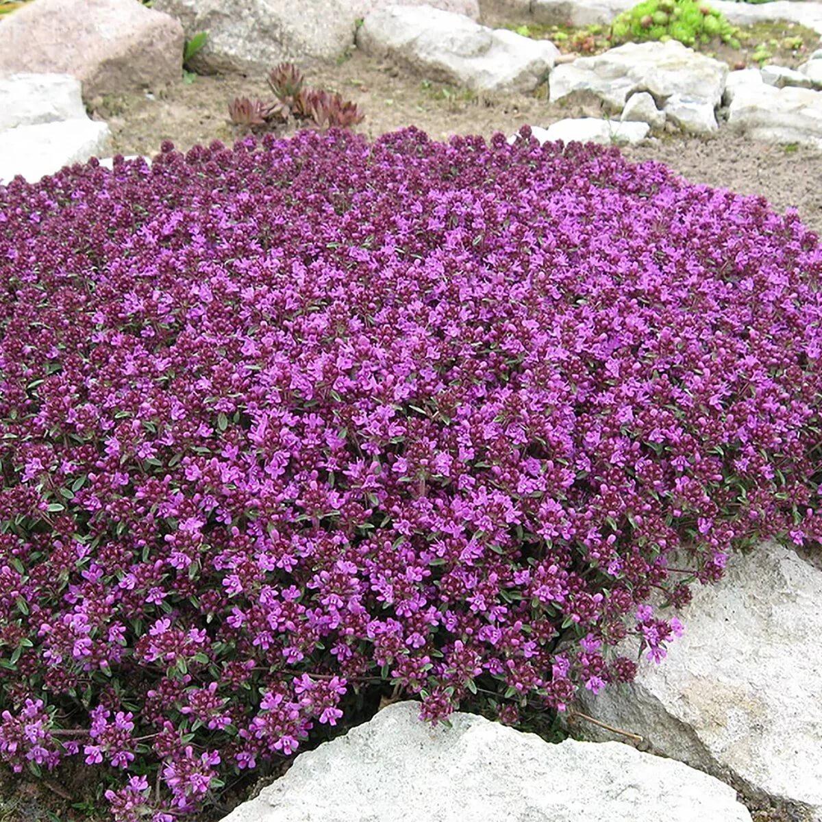 Тимьян ползучий: фото, уход и посадка растения
