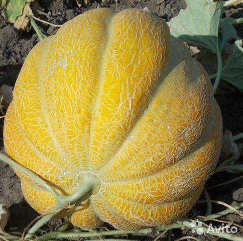 Дыня эфиопка: описание сорта, выращивание и урожайность с фото