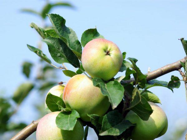 Яблоня имрус: описание и характеристики сорта
