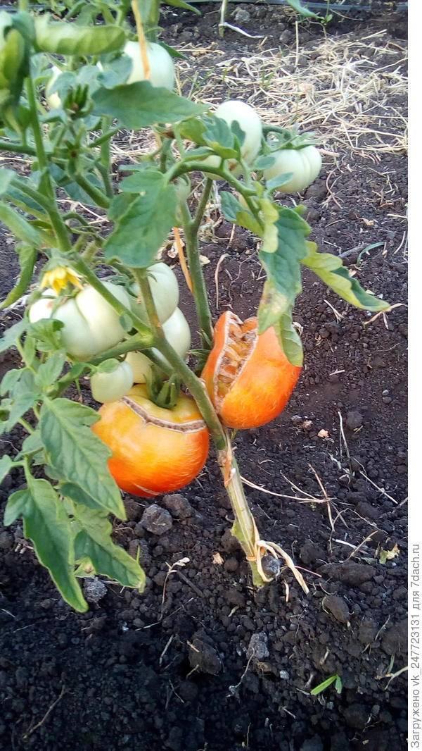 Почему трескаются помидоры в теплице при созревании: что делать когда лопаются томаты