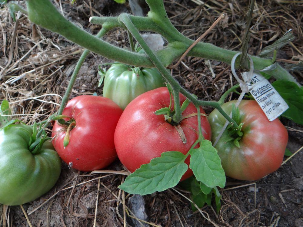 Описание крупноплодного томата фиделио и выращивание сорта рассадным методом. характеристика и описание сорта томата фиделио