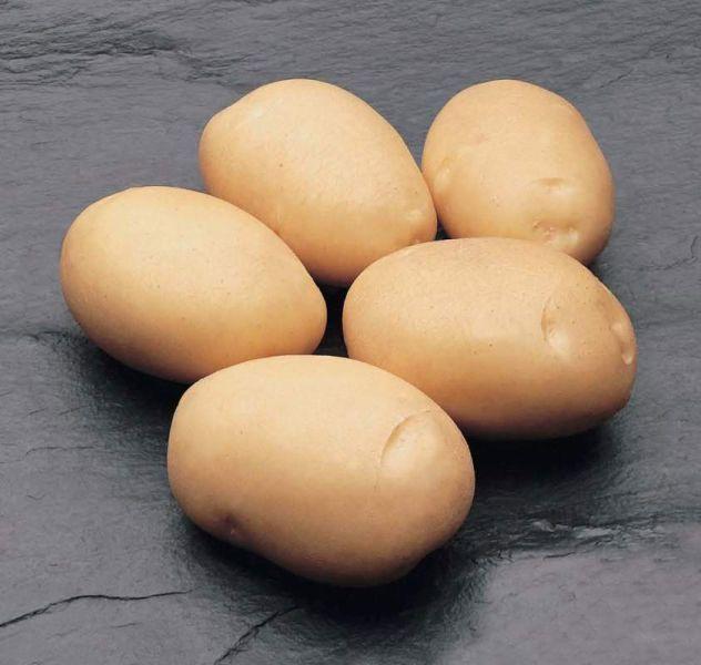 Сорт картофеля латона: характеристика, описание с фото, отзывы