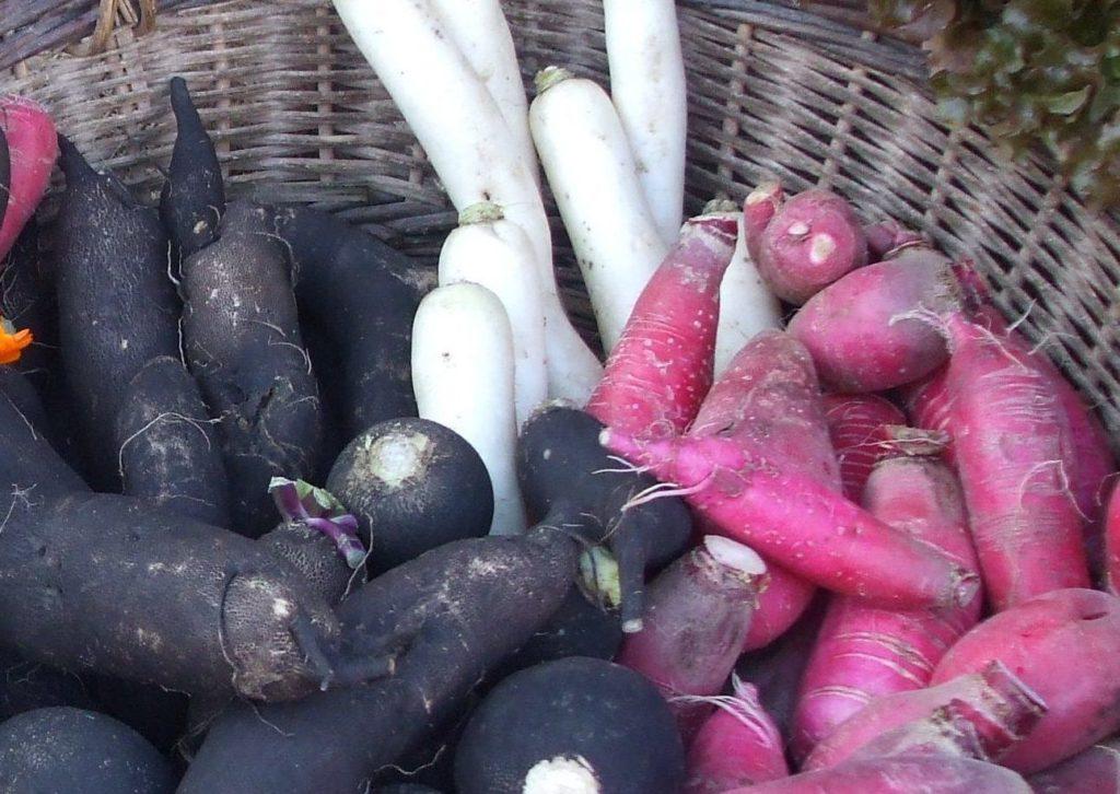 Зеленая редька: когда убирать урожай овощей с грядки на хранение на зиму, а также почему важно выкопать китайский корнеплод в срок?
