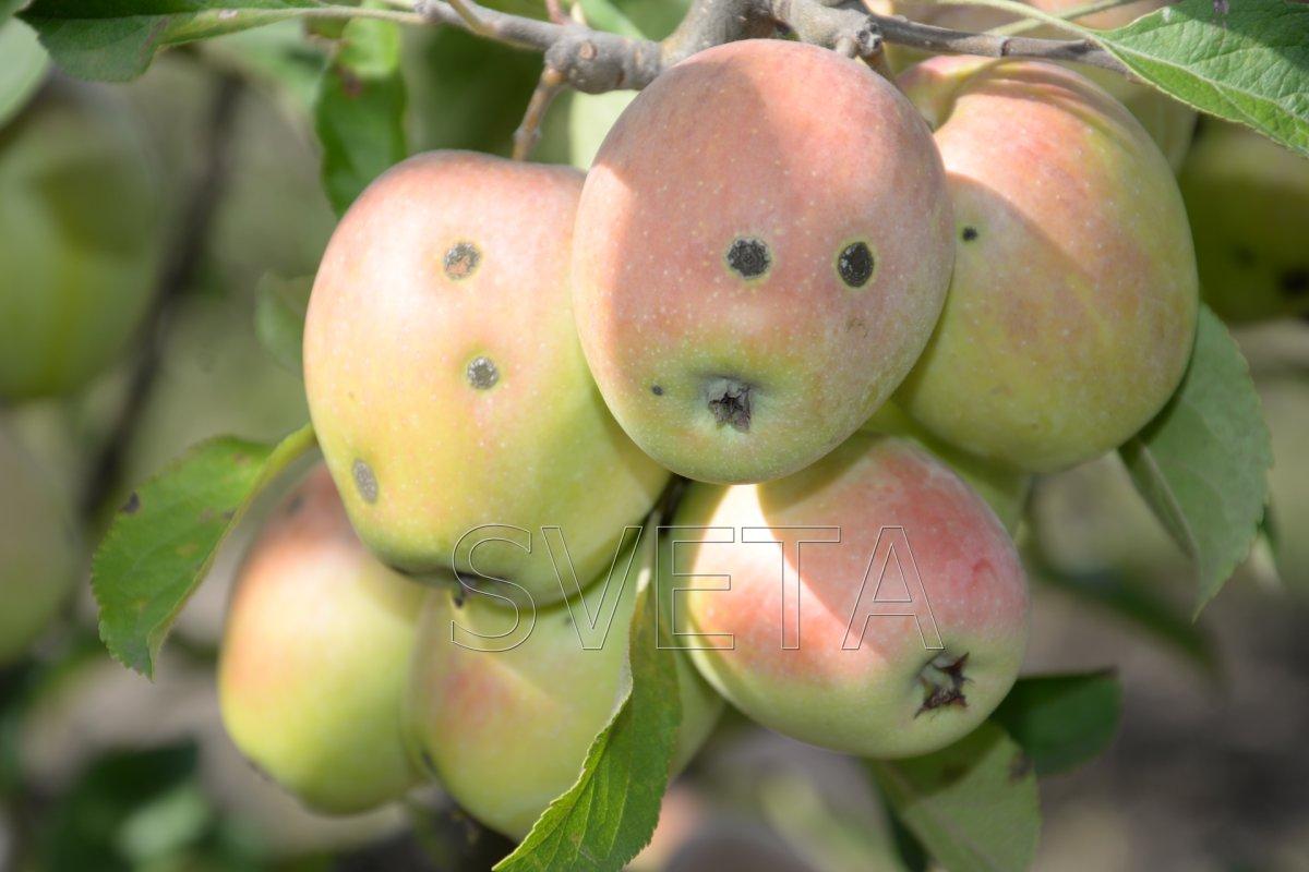 Яблоня «аркадик»: характеристика, секреты успешного выращивания