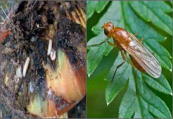 Луковая муха - как с ней бороться, народные методы