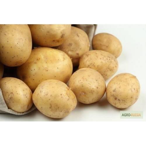Картофель зорачка: описание сорта, фото, отзывы об урожайности и характеристика вкусовых качеств