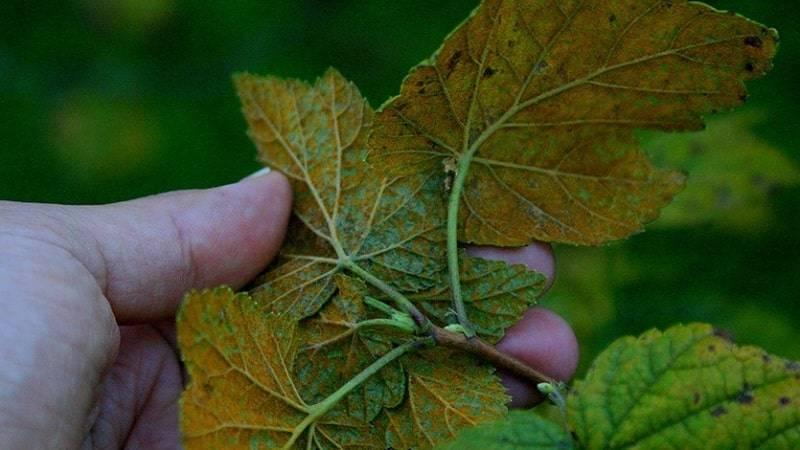 Болезни и вредители черной смородины