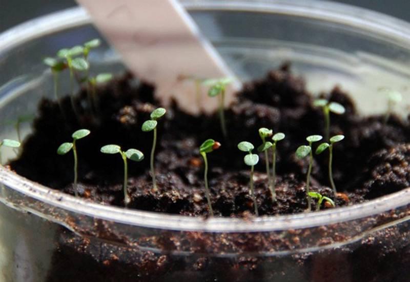 Как выращивать малину из семян? как вырастить малину из семян?