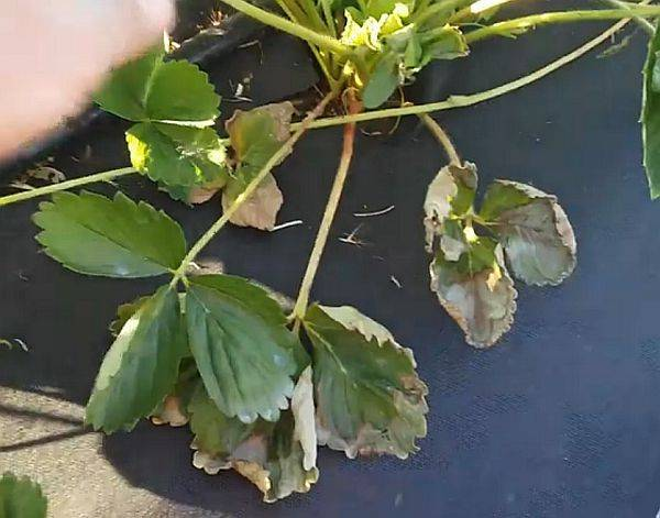 У клубники скручиваются листья, что делать — передаем суть