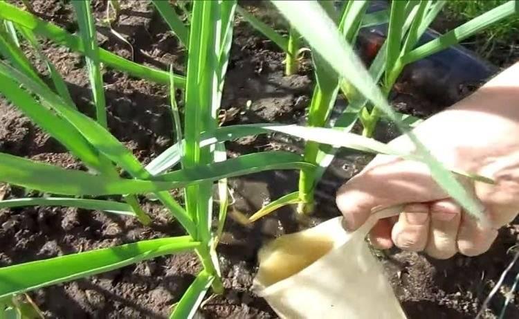 Что делать когда желтеет лук на грядке, народные и другие средства