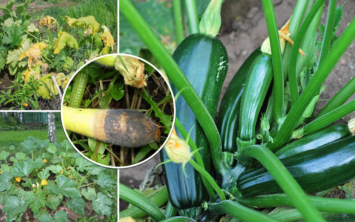 Выращивание кабачков: секреты урожая