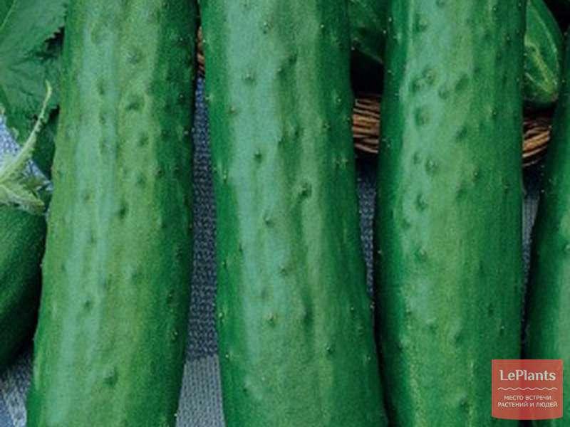 Огурец драгун: характеристика и описание сорта, отзывы дачников с фото