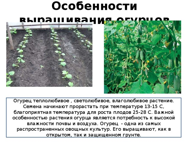 Капуста «Мегатон f1»: описание сорта и технология выращивания