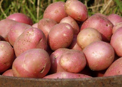 """Картофель """"гренада"""": описание сорта, фото, характеристики картошки, посадка и уход русский фермер"""