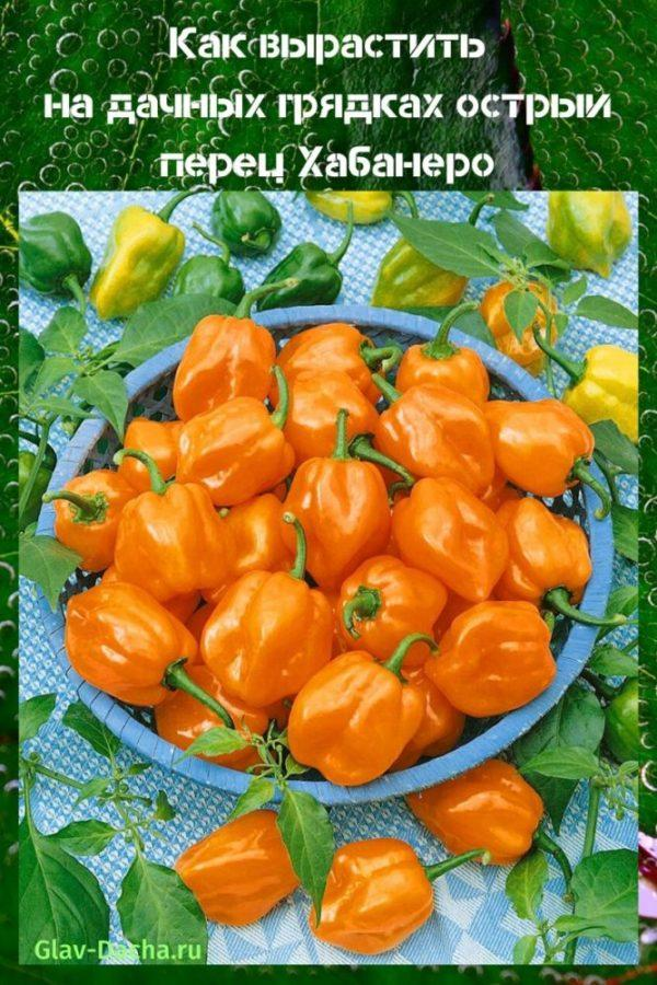 Перец хабанеро (habanero pepper): сорта с фото и описанием, отзывы, выращивание