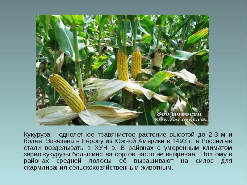 Кукуруза: это овощ или злак и к какому семейству относится?