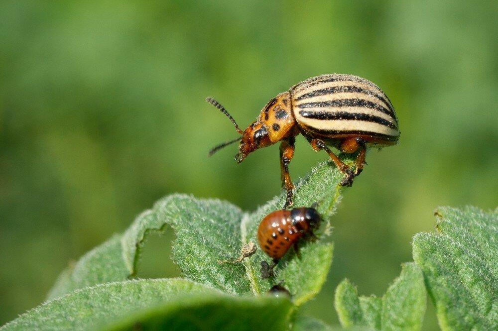 20 способов боротьбы с колорадским жуком народными и химическими средствами