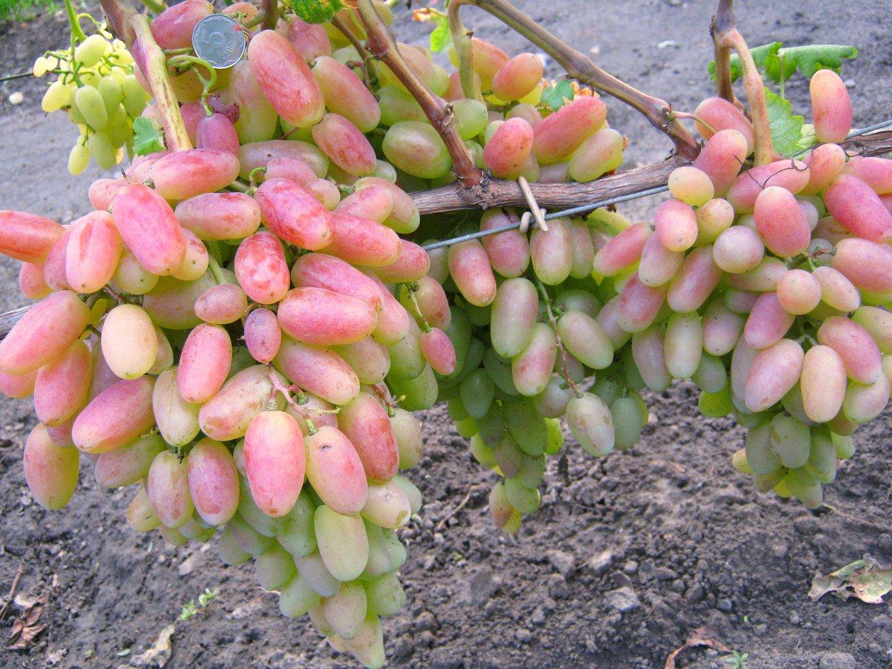 Описание сорта винограда юбилей новочеркасска: фото, видео и отзывы | vinograd-loza