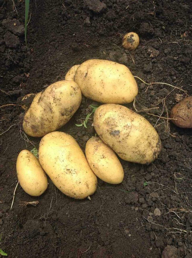 Описание и характеристики картофеля сорта Лорх, посадка и уход