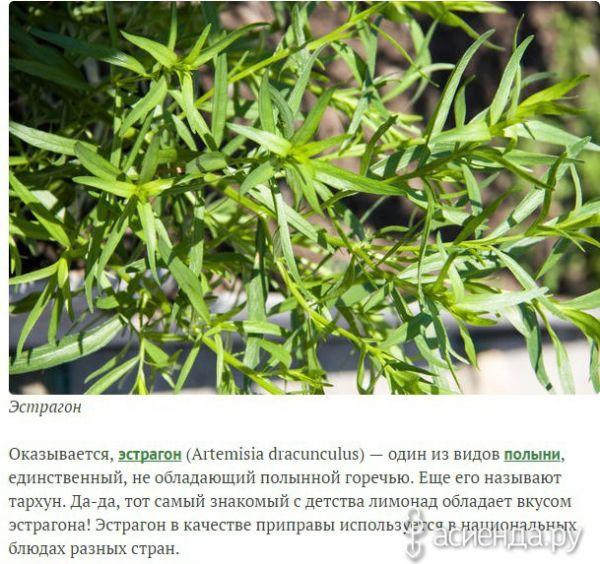 Эстрагон (тархун). выращивание и уход