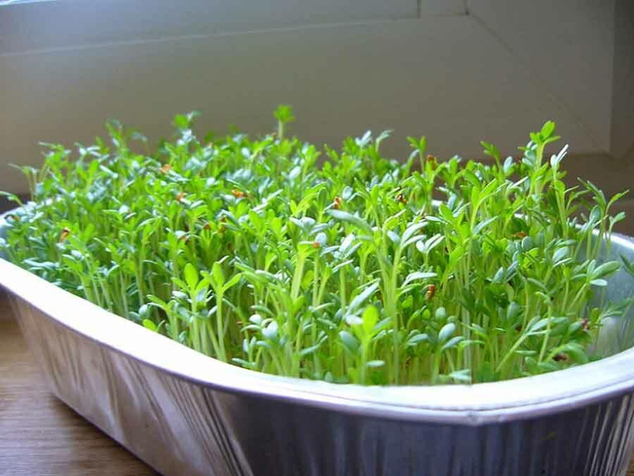 Руккола на подоконнике: выращивание из семян, требования к грунту, уход и полив