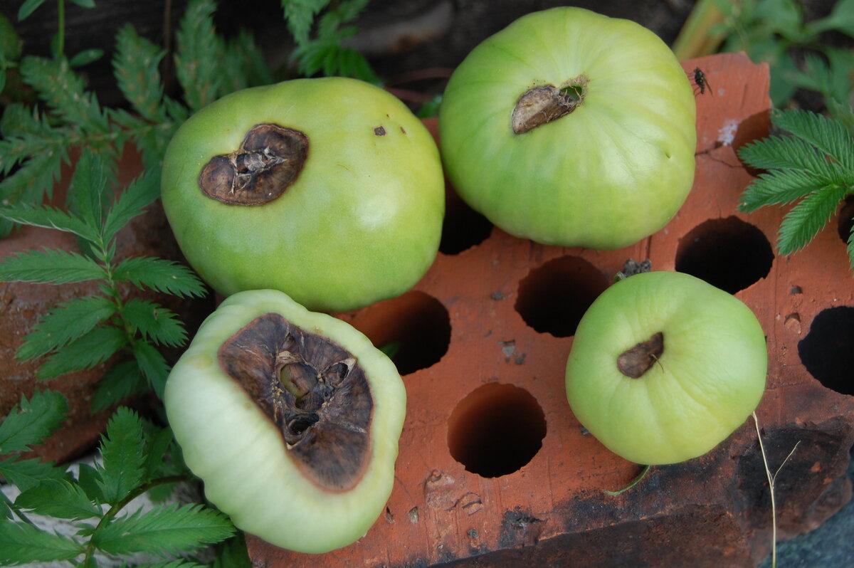 Болезни помидор вершинная гниль - меры борьбы, способы лечения и профилактика