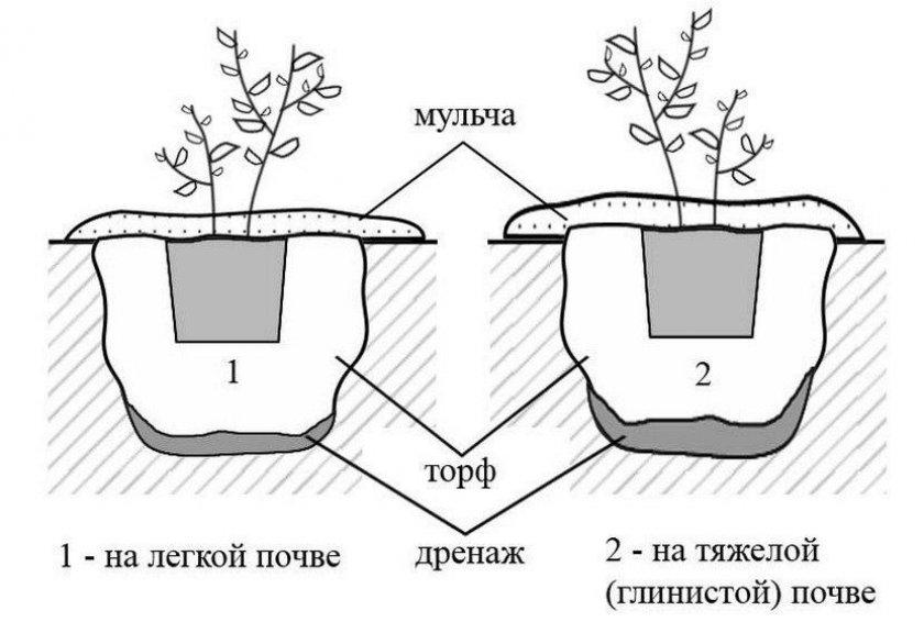Как вырастить голубику различных сортов (практические рекомендации)