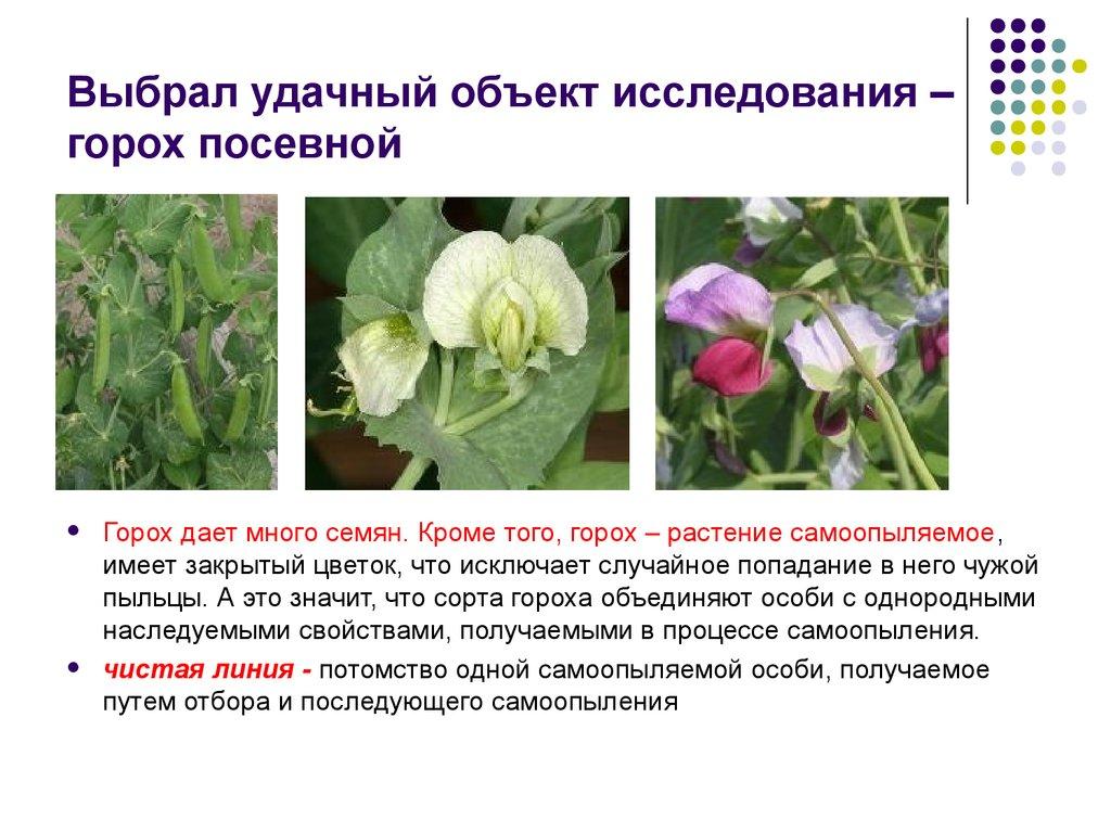 Описание сортов посевного гороха и выращивание, к какому семейству относится