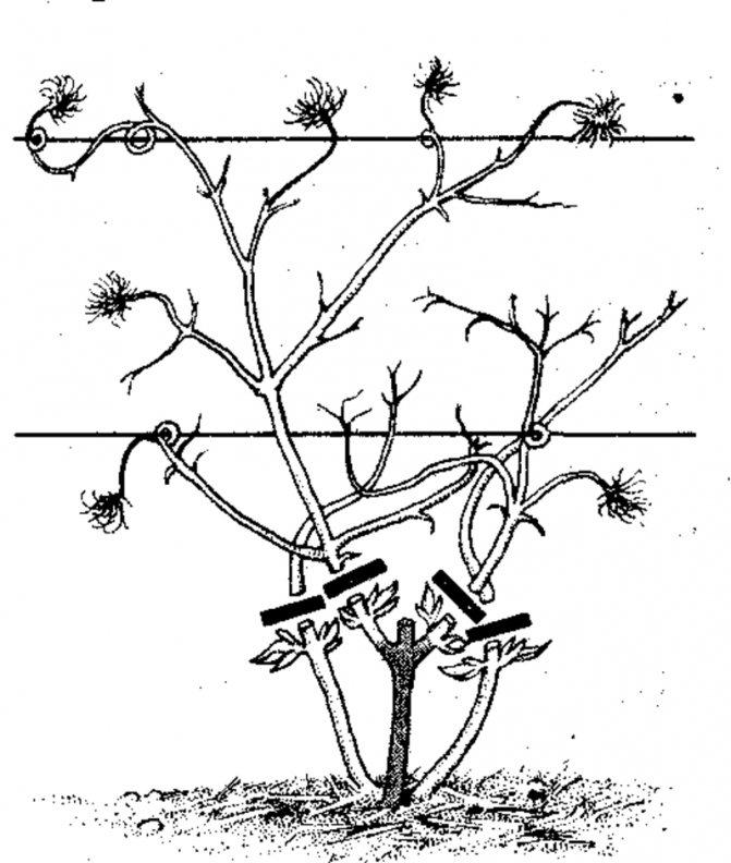Клематисы для подмосковья (56 фото): описание лучших неприхотливых сортов. выращивание и уход. как сажать весной? подоготовка к зиме