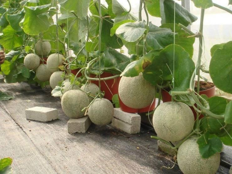 Дыня колхозница: польза и вред, особенности выращивания в открытом грунте
