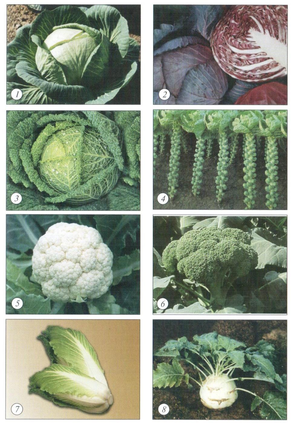 Разновидности капусты: названия и качественное описание