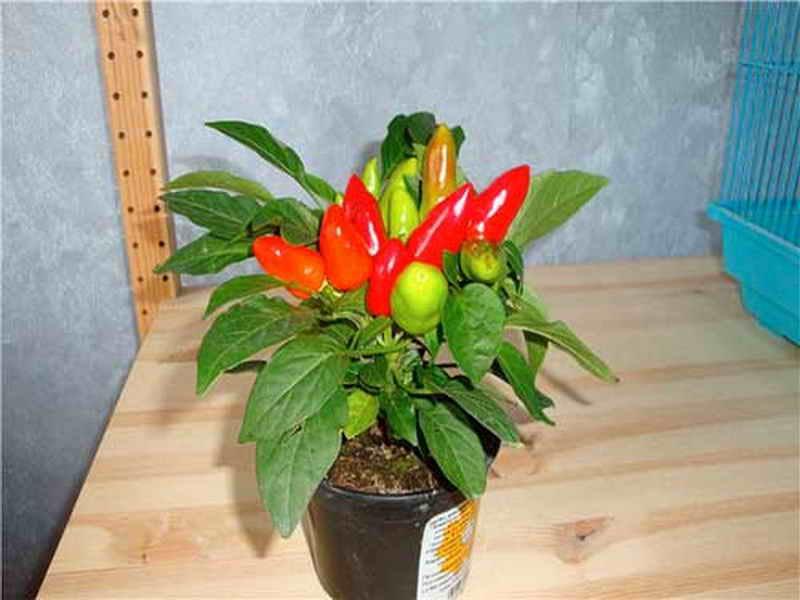 Как вырастить декоративный перец в домашних условиях: сорта, посадка и уход, особенности выращивания