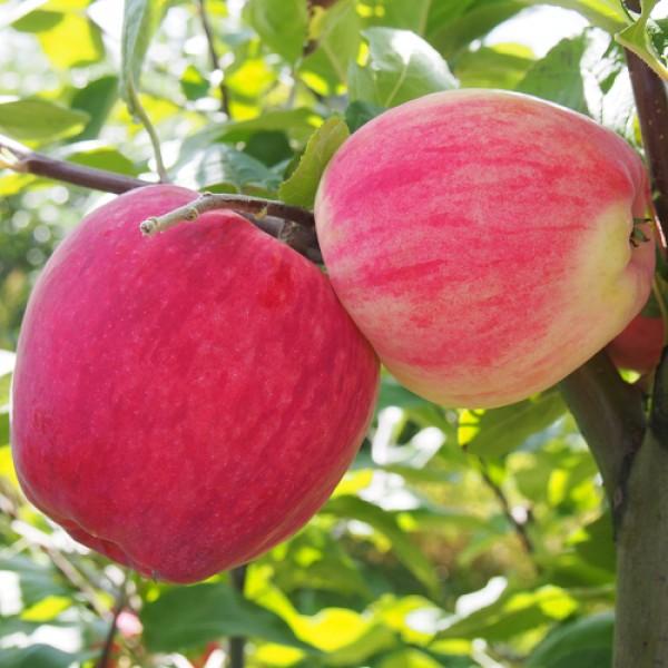 Яблоня декоративная: фото и описание сортов