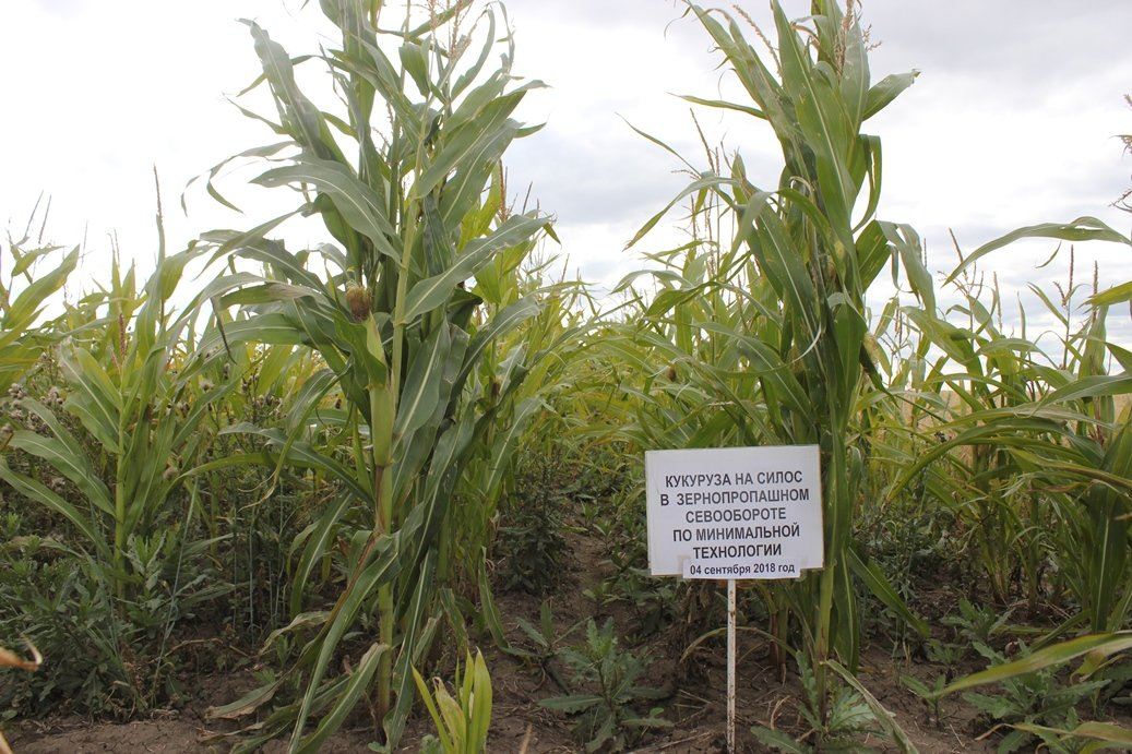 Уборка кукурузы на зерно с полей в початках: правила и сроки сбора