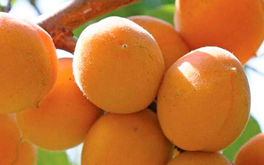 Выращивание нектарина, в том числе особенности и основные этапы ухода за растением, лучшие сорта с описанием, характеристикой и отзывами