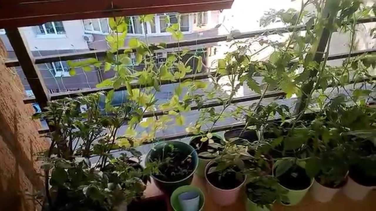 Урожай круглый год, не выходя из дома: как вырастить горох в домашних условиях на подоконнике и что для этого нужно