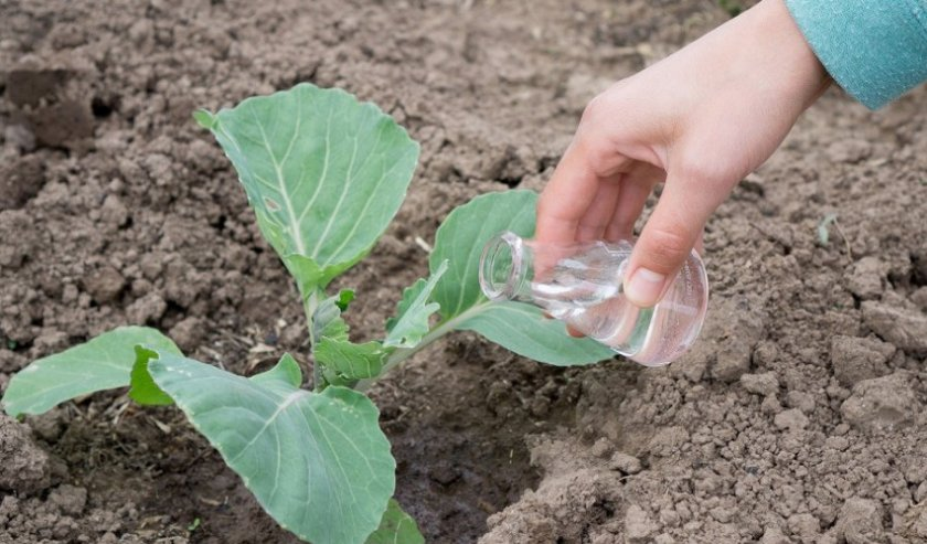 Посадка кольраби на рассаду: уход, пикировка, подготовка семян и посадка в грунт. | огородники